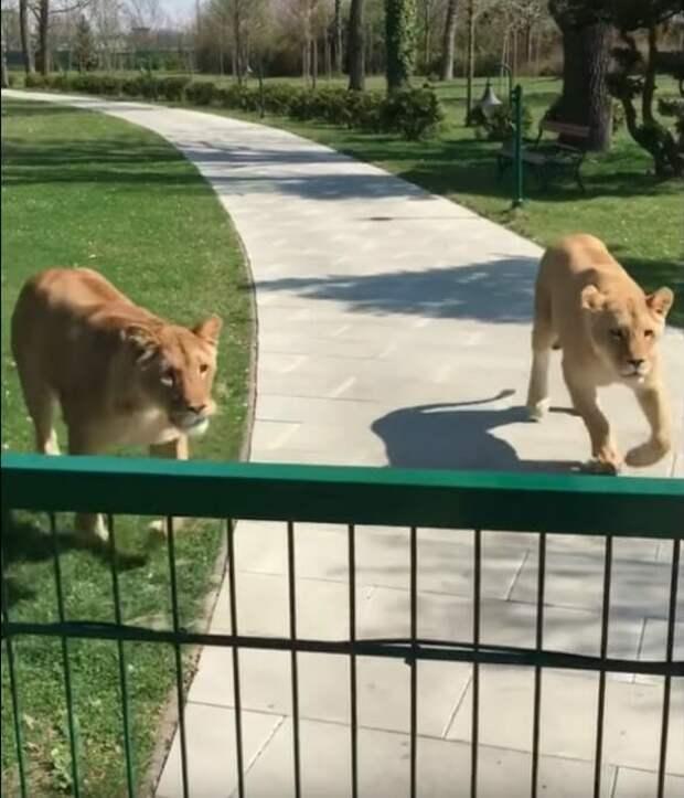 Женщина вырастила двух львят-сирот, но их пришлось отдать в зоопарк. Они встретились через 7 лет…