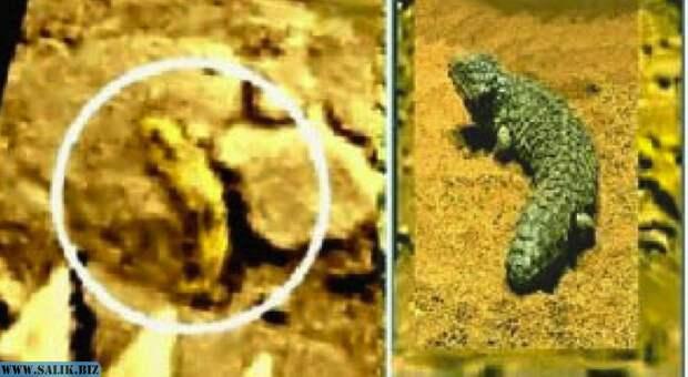 Амисада - венерианская ящерка. Похожа на земную (справа).