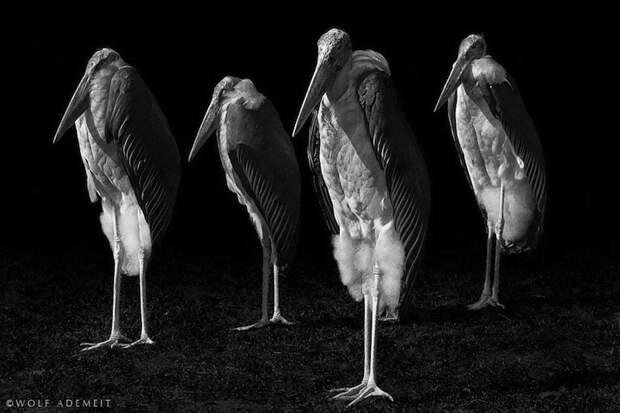 Художественные портреты животных от Вольфа Адемейта
