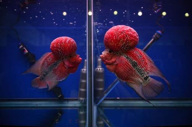 Аквариумные рыбки флауэрхорн