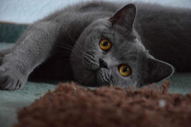 О чём горько жалеют владельцы гордых британских кошек