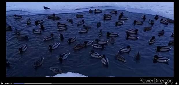 Проруби на Лефортовских прудах снова заполнили утки
