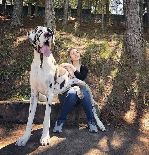 Собаки представители породы Немецкий дог мир собак, немецкий дог, собаки, фото
