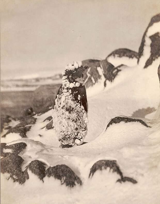 Пингвин Адели в снегу, приблизительно 1912 год Австралийская антарктическая экспедиция, антарктида, исследование, мир, путешествие, фотография, экспедиция