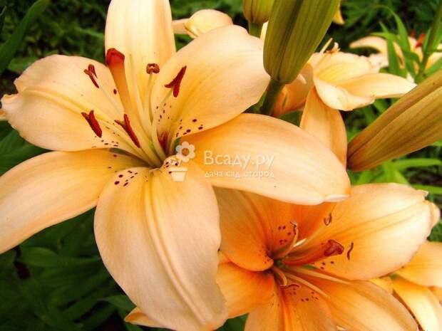 Прекрасные лилии, выращенные в саду