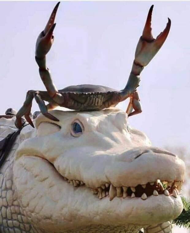 Краб на голове крокодила