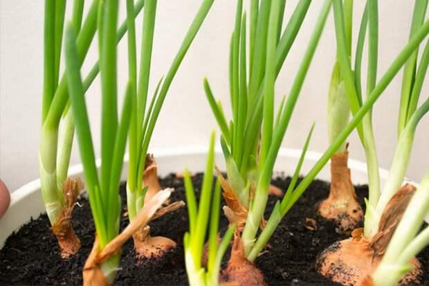 Посадка луковиц на зелень, полив и подкормки