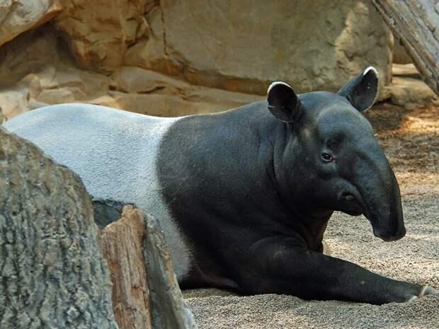 Тапир животные, интересное, мир, носатые, природа, фауна