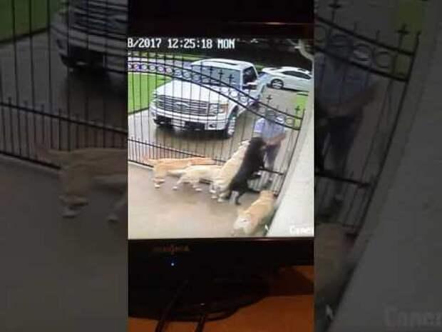 Он пересматривал камеры наблюдения, когда увидел, что почтальон делает с его пятью лабрадорами