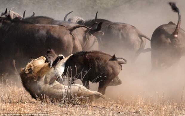 Особенно рьяно буйволы защищают телят.