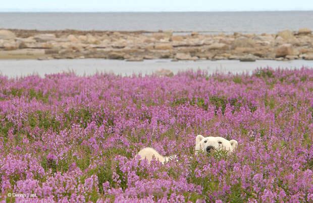 Денис Фаст сфотографировал, как полярные медведи резвятся в цветочном поле-9