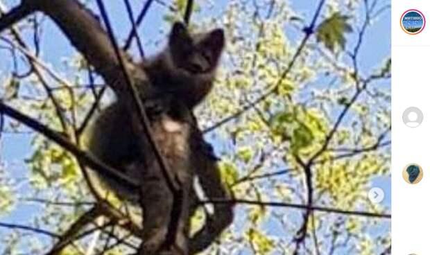 На Барышихе сняли на видео куницу-охотницу