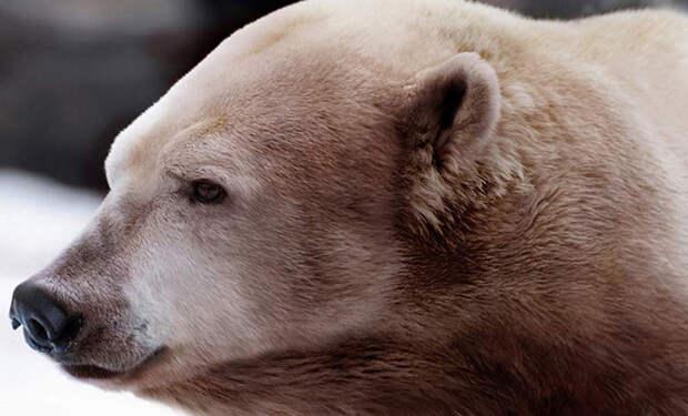 На Аляске обнаружили новый вид полярных медведей, которого еще 20 лет назад не было
