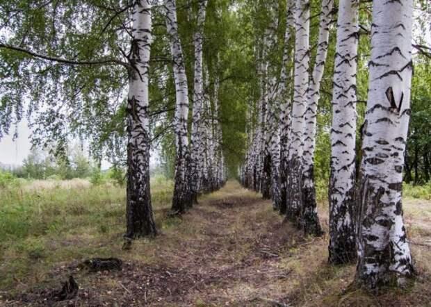 Береза тоже подходит. /Фото: argo-oboi.com.ua.