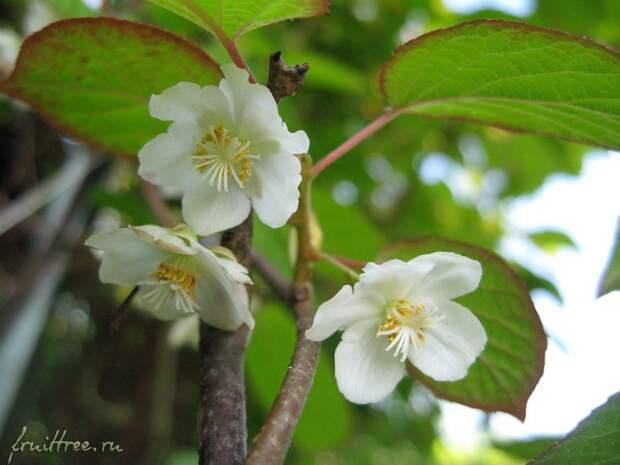 Актинидия коломикта: наше северное киви