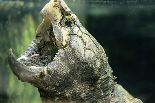 Сила укуса хищной черепахи: челюсти как тиски