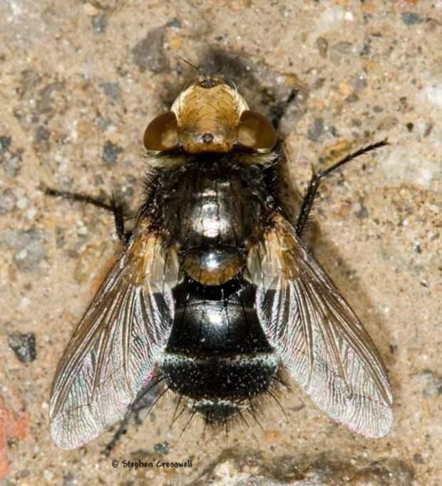 Мухи тахины или ежемухи (лат. Tachinidae) (англ. Tachinid Fly)