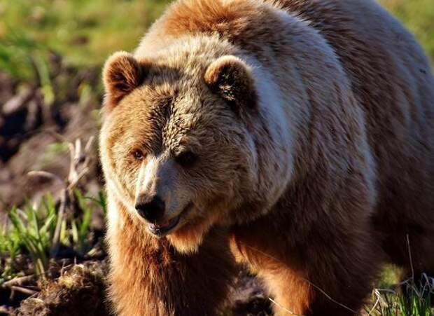 На Сахалине мужчина выжил после нападения «агрессивного» медведя