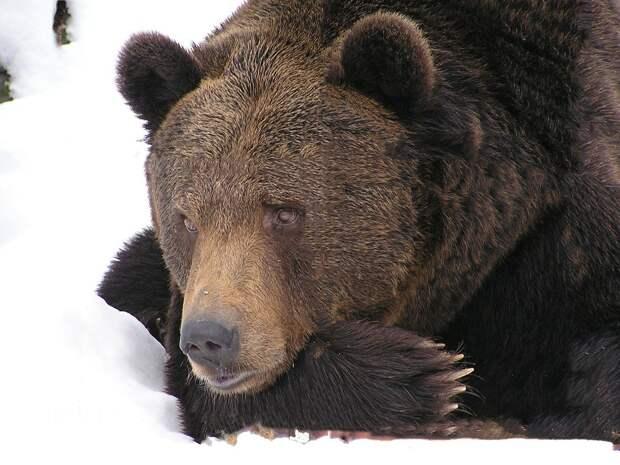 Житель Приморья смог спастись от ранившей его медведицы