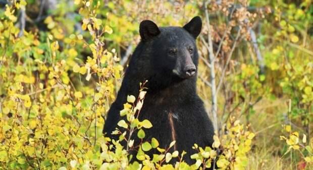 Северная Каролина - медведь спас трех летнего паренька