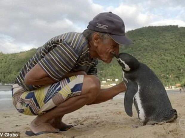 Пингвин каждый год проплывает больше 5 тысяч километров, чтобы встретиться со своим спасителем