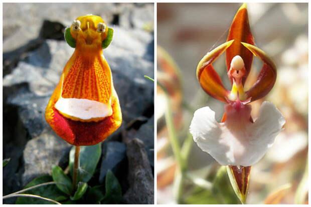 Calceolaria uniflora - Alienígena feliz и ballerina orchid интересное, красота, орхидеи, флора, цветы