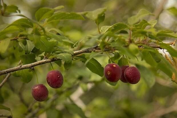 вишнеслива, фото автора