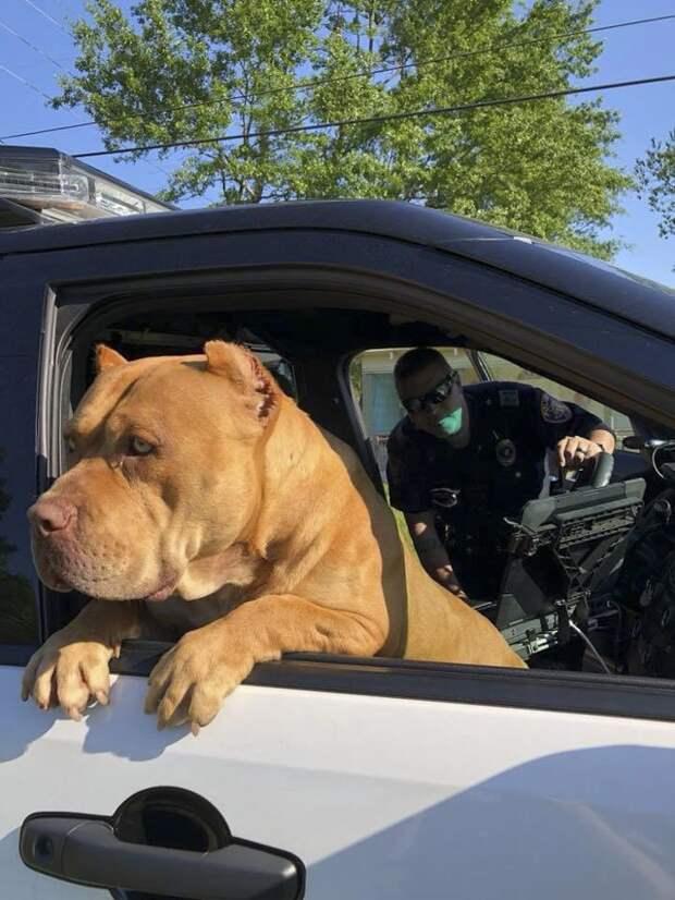 """Несмотря на устрашающий вид пса, полицейский понял, что животное это, как говорится, """"доброе и пушистое"""" булли, злая собака, люди и собаки, мир не без добрых людей, осторожно, питбуль, потерялся, собаки"""