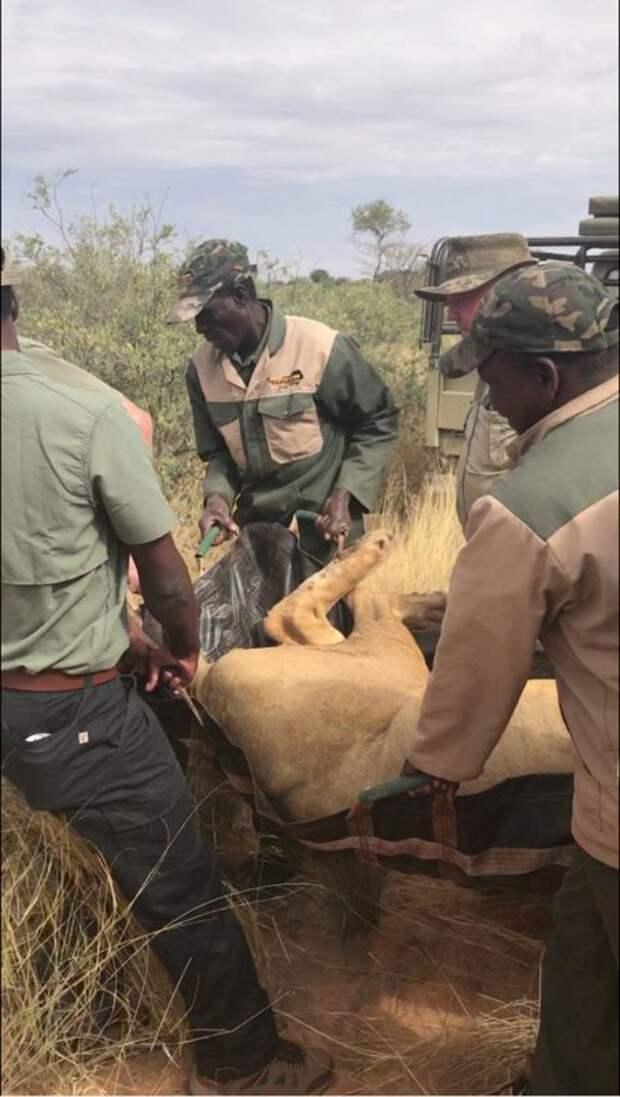 Операция «Симба»: миллиардер лорд Эшкрофт раскрыл схему варварской охоты на львов в ЮАР