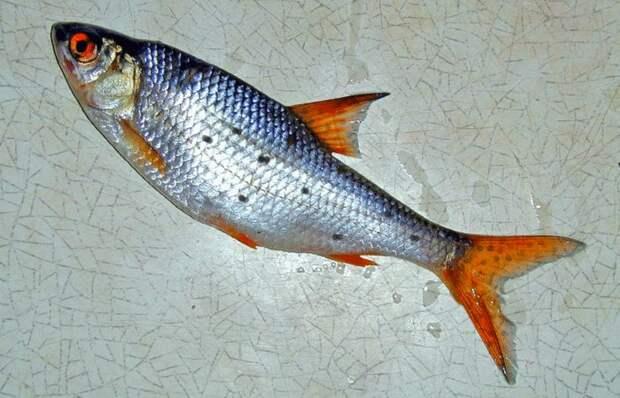 Что это за черные точки на рыбе? Откуда они берутся и какой вред человеку могут нанести?