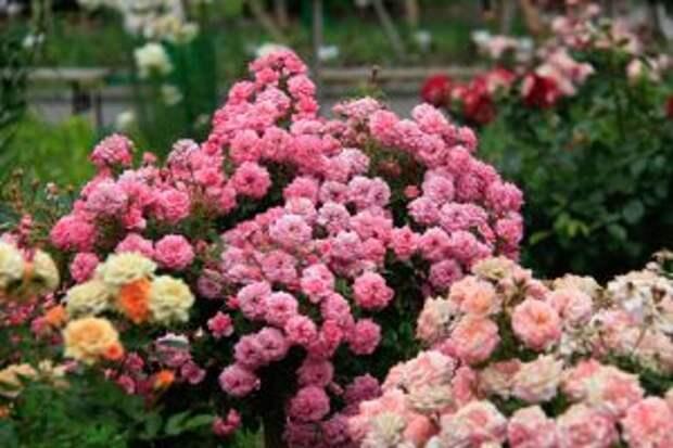 Роскошные розы от 100 см