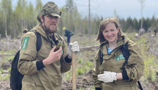 19 тысяч молодых сосен посадили под Петрозаводском