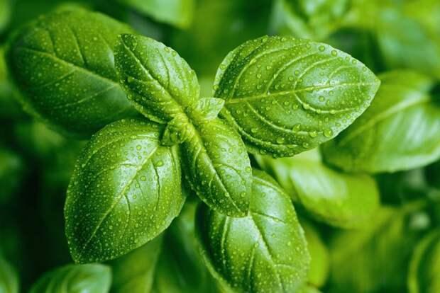 Растения, которые способны защитить вас от комаров, клещей, мух и тараканов