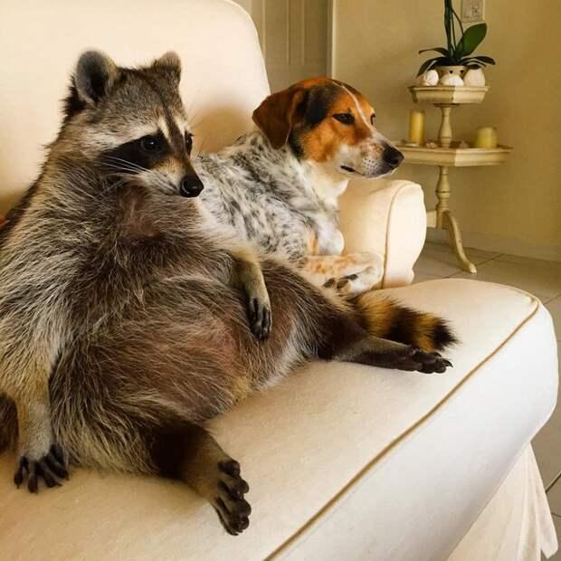 6 забавных фото енота, который считает себя собакой