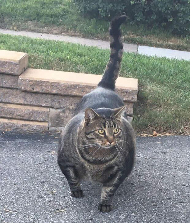 6 фото накачанного кота, который уложит тебя с вертухи