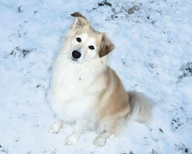 6. Бордер-колли и ретривер — отличный союз домашние животные, животные, красота, метис, милота, порода собак, собака