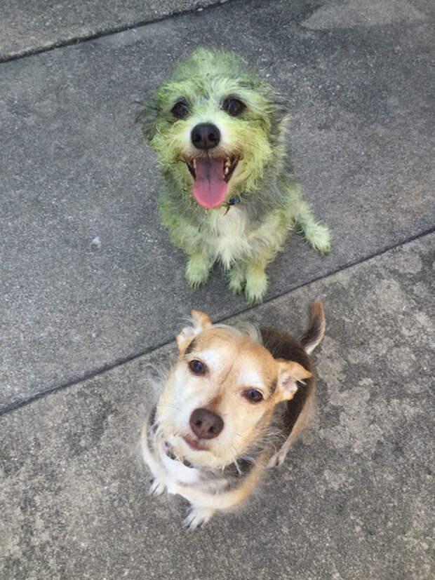 Еще один газонокосильщик собаки, щенки. юмор