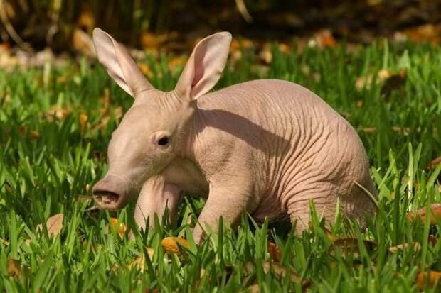 Трубкозуб животные, интересное, мир, носатые, природа, фауна