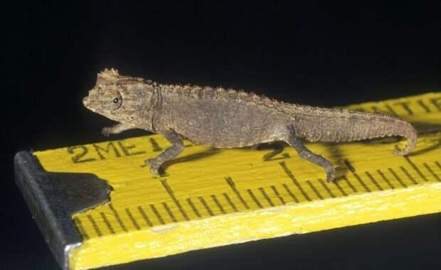Хамелеон малая брукезия. животные, интересное, мадагаскар, факты, эндемики мадагаскара