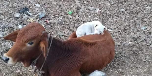 корова и собака