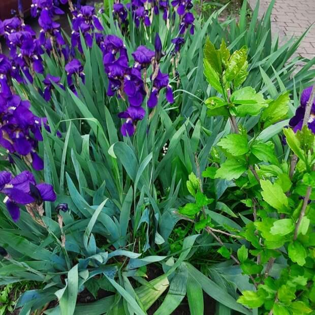 Ирисы или тюльпаны?