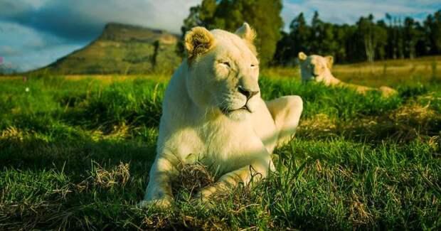 Апартаменты не для слабонервных: сдается коттедж по соседству со львами