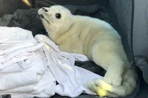 Тюлененка нашли в Кингисеппском районе Фото: vk.com/sealrescue