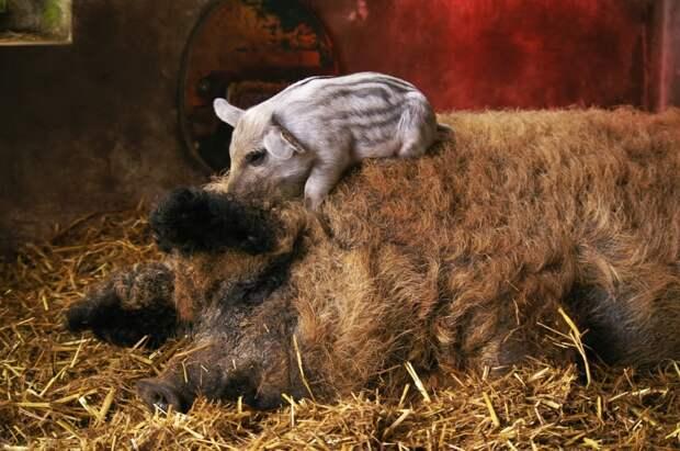 5 очень милых фото кудрявых свиней