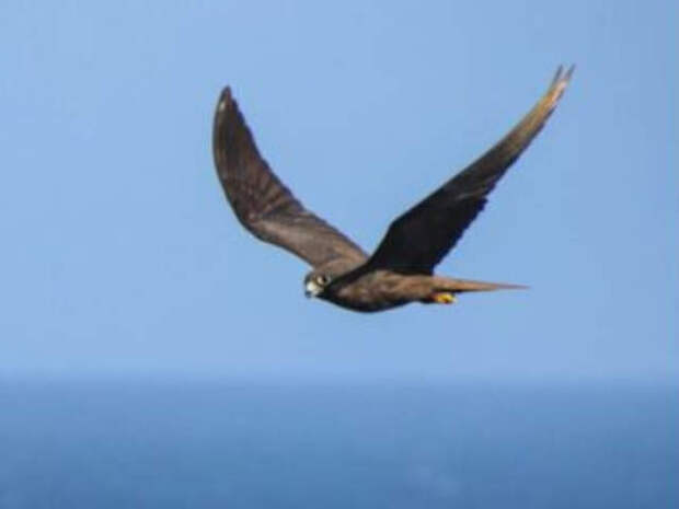 Как наземные птицы без промежуточных посадок перелетают открытый океан