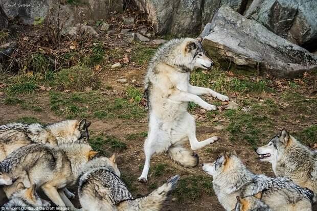 Финалисты Comedy Wildlife Photography Awards 2017 (32 фото)