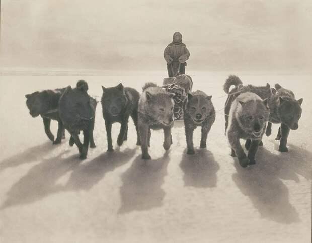 Хаски в упряжке, приблизительно 1912 год Австралийская антарктическая экспедиция, антарктида, исследование, мир, путешествие, фотография, экспедиция