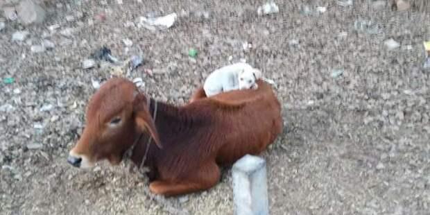 собака с коровой