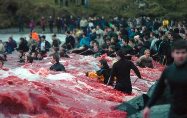 На Фаррерах устроили геноцид дельфинов. Это местная традиция, жестокость которой поражает