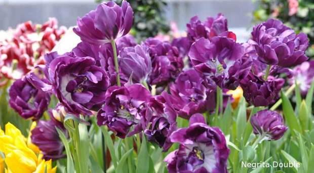 Август - самое время выбирать, какие сорта тюльпанов у вас будут цвести весной